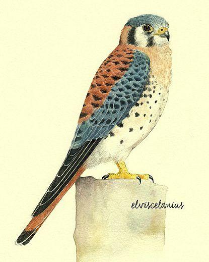 Cernìcalo (Falco Sparverius) by elviscelanius