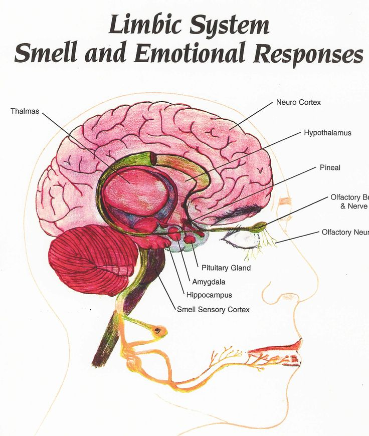 1990 ford e350 van fuel system diagram olfactory limbic system diagram power of aroma! directly affects limbic brain ... #8
