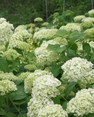 Pruning Hydrangeas   Knowing if your shrub blooms on old or new wood will help you make timely cuts