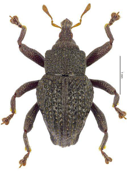 Trigonopterus duabelas aus den Bergen Zentraljavas. Art Nummer zwölf.