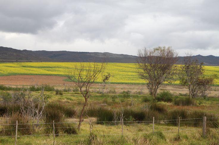 Canola fields, Caledon Western Cape, July 2014