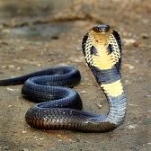 Serpiente Cobra Imágenes De Archivo, Vectores, Serpiente Cobra Fotos Libres De Derechos