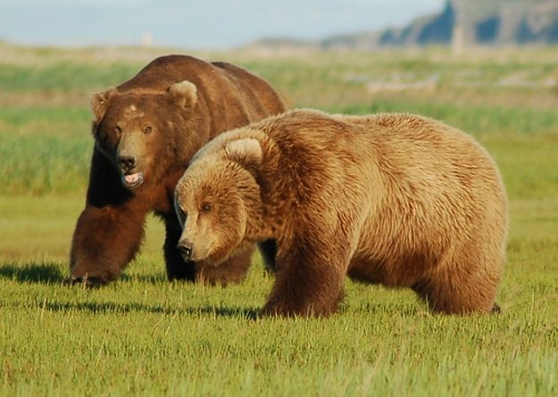 What Do They Weigh Grizzly Bears | All You Need To Know About Bears | Bear Facts