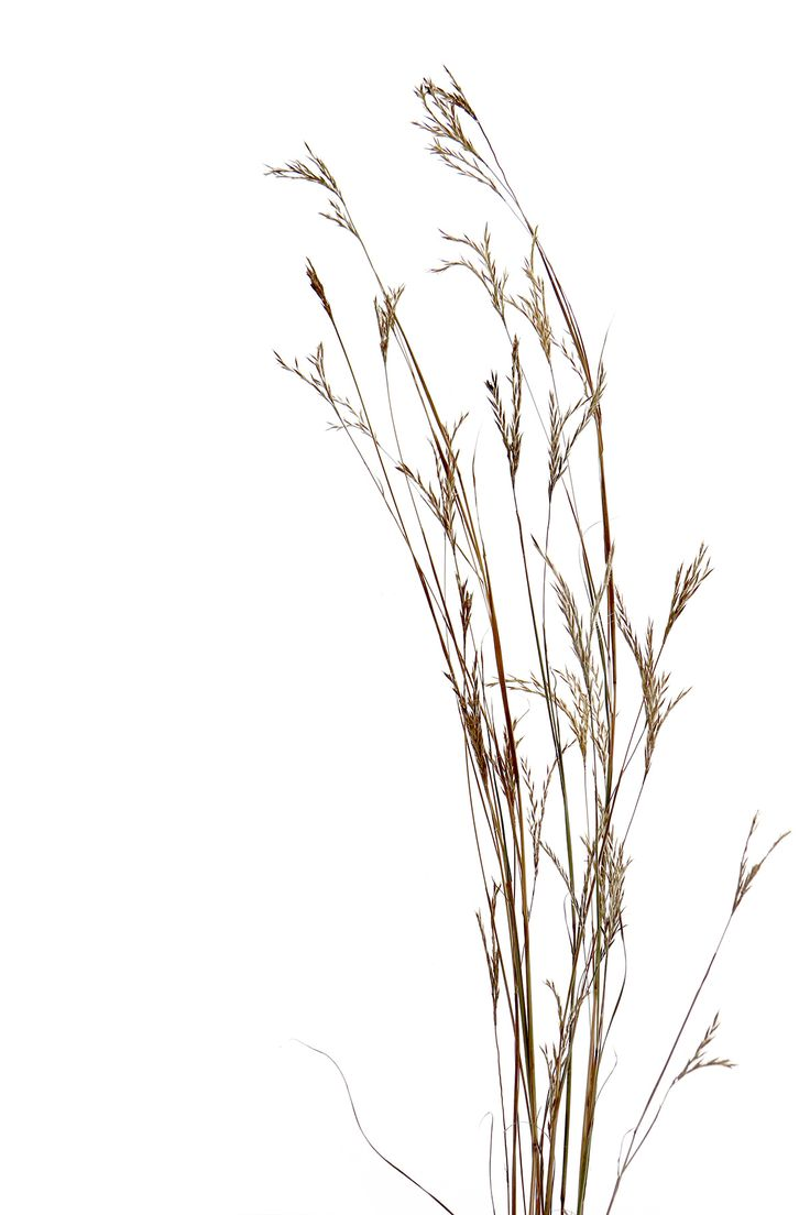 big blue stem prairie grass (mary jo hoffman)