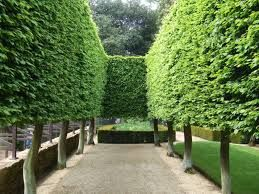 tuileries garden pleached trees - Google Search
