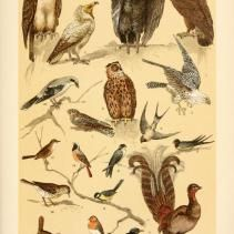 free vintage illustrations of Wild Animals and Birds