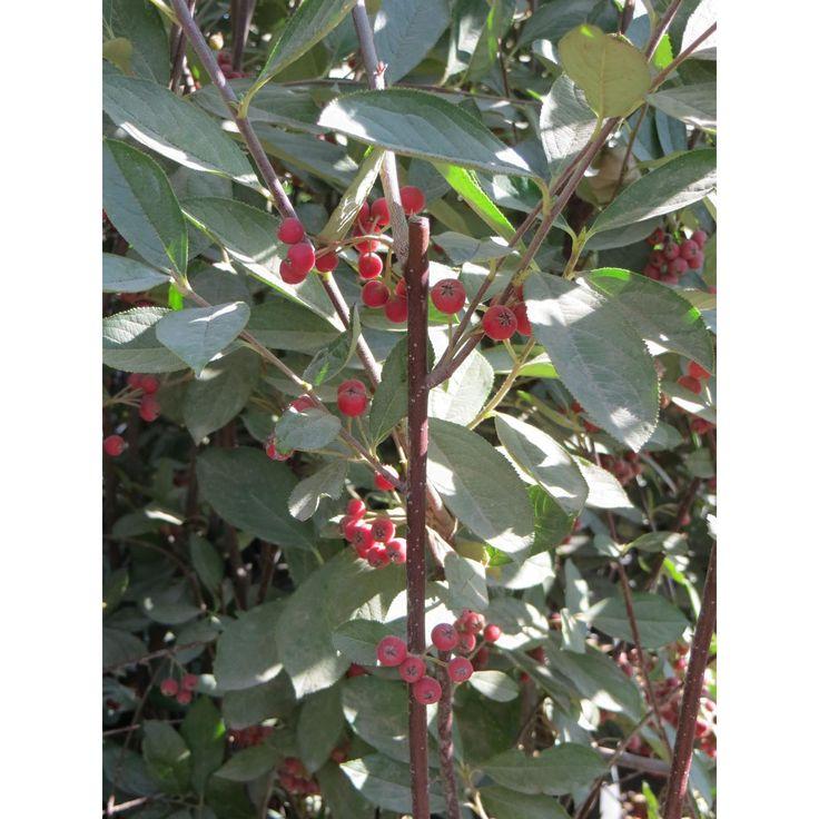 Regent Serviceberry  Amelanchier alnifolia 'Regent'