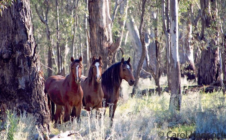Barmah Brumby Youngsters, Carol Hancock Photography