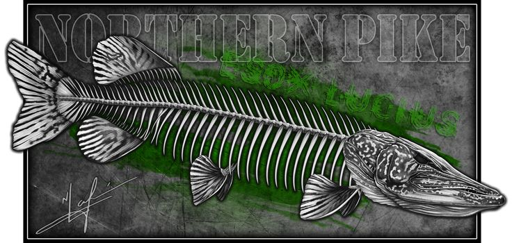 Northern Pike Skeleton A Fish Skeleton Pinterest