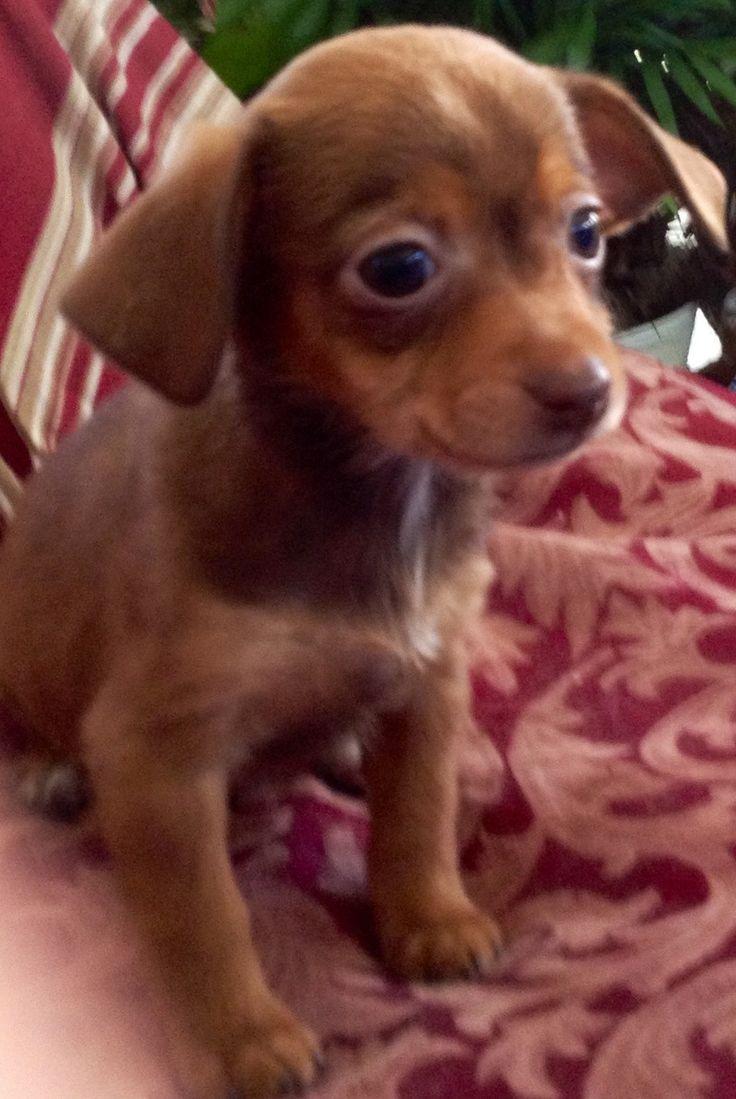 """Misty's Babies """"Madison"""" Yorkshire Terrier Yorkie & Shih Tzu Mix • Baby • Female • Small Jellystone Bark's Rescue Rangers Oswego, IL"""