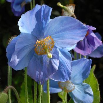 Pavot bleu de l Himalaya - Meconopsis betonicifolia