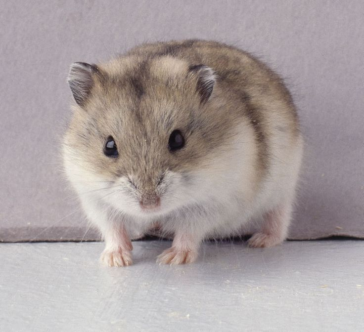 Russian dwarf hamster ... Looks like my little bug ! I want another one !!