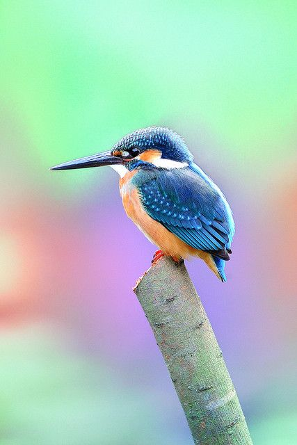 427 x 640 jpeg 43kBCommonkingfisher