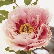La collezione di Peonie in vendita del Centro Botanico Moutan - Bellezze Gemelle variegate (Hua Er Quiao)