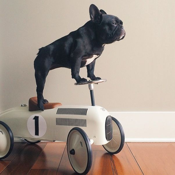 """""""I've seen the Future, and it's Mine"""", French Bulldog on a speedster."""
