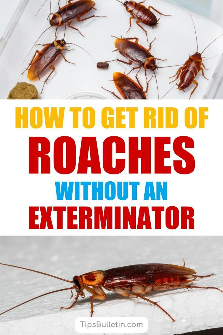 8 Super Simple Ways To Get Rid Of Roaches Without An Exterminator Home Remedies For Roaches Roaches Kill Roaches