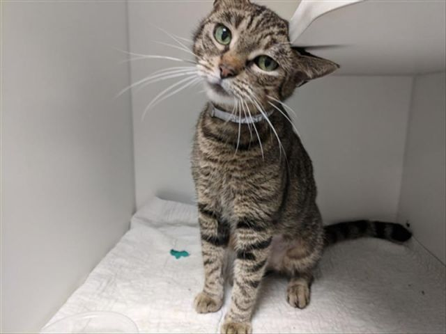 Super Urgent Sahara 35492 After 3 Weeks At Nyc Sarah Is Declining She Needs A Vet Please Take Her With You Today Cat Adoption Animals Animal Shelter