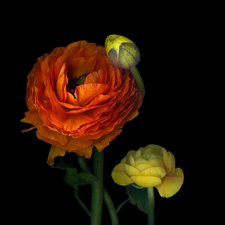 Photo THE SUNNY RANUNCULUS... by Magda Indigo on 500px
