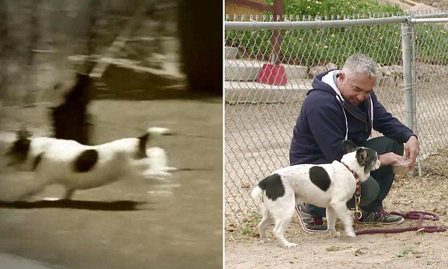Dog Whisperer Cesar Millan insists pig who was attacked by dog is fine