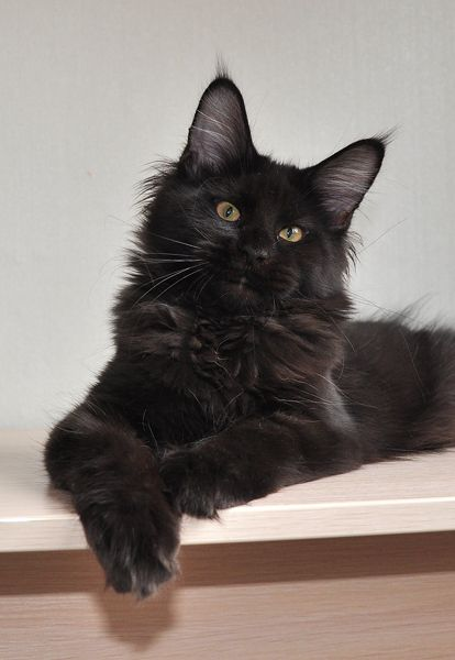 A black Maine Coon cat. Maine Coones are the baddies in Salome's Daughters.  http://www.amazon.com/dp/B00K0NGMUO