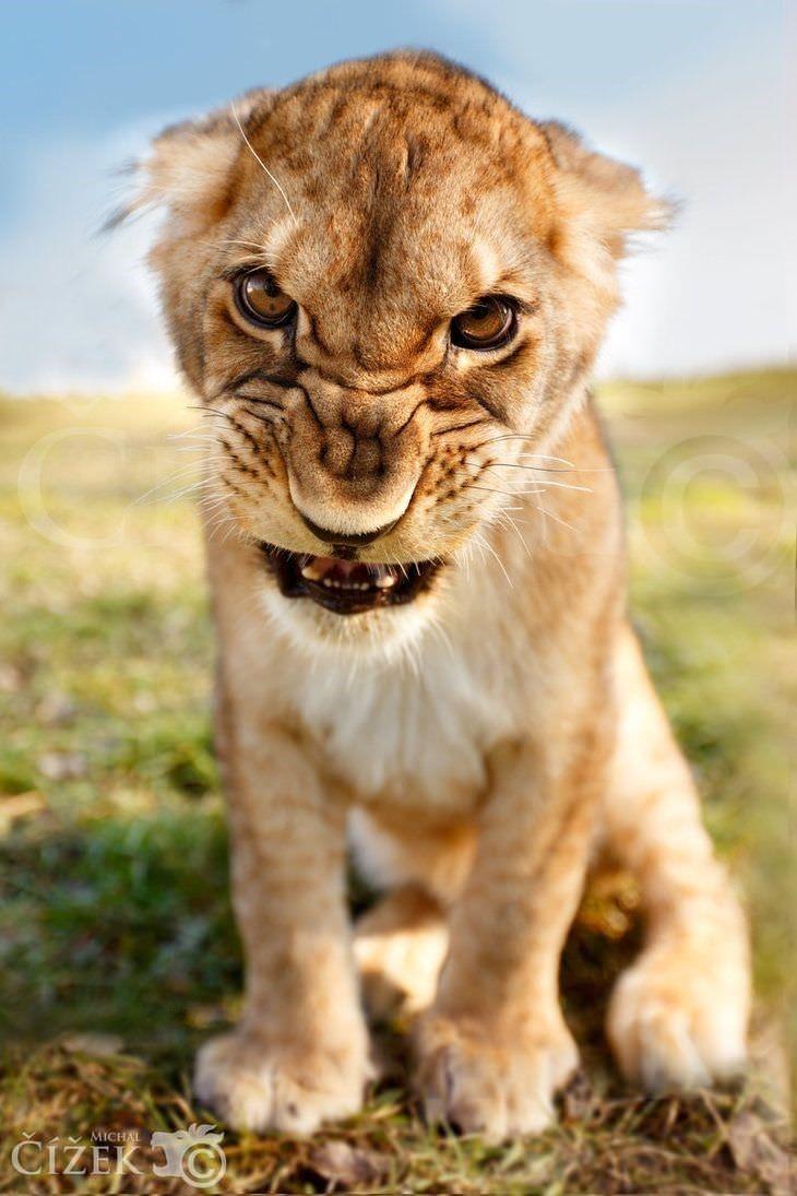 Lions machen urkomische Gesichtsausdrücke