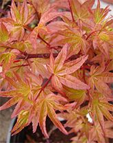 Corallinum (spring foliage)- dwarf and semi-dwarf Japanese Maple varieties (Good site for lots of different varieties)
