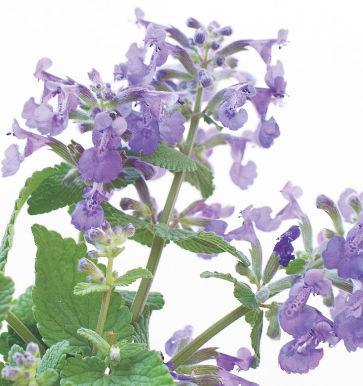Catmint - flowering herb
