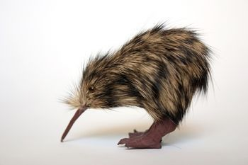 Kiwi are flightless birds endemic to New Zealand, in the genus Apteryx and family Apterygidae. At around the size of a domestic chicken, kiwi are by far the smallest living ratites and lay the largest egg in relation to their body size of any species of bird in the world.