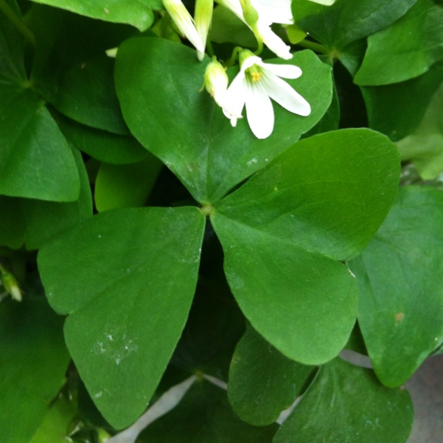 1000 images about sham rocking on pinterest luck of the irish a 4 and clover 3 - Shamrock indoor plant ...