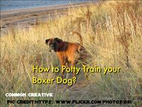 When you bring your new Boxer dog home the first basic things are to set it�s routine. From eating to knowing how to Pee and excrete the feces they need to be potty trained. Let your Boxer dog understand that their new home is a safe place and a safe corn