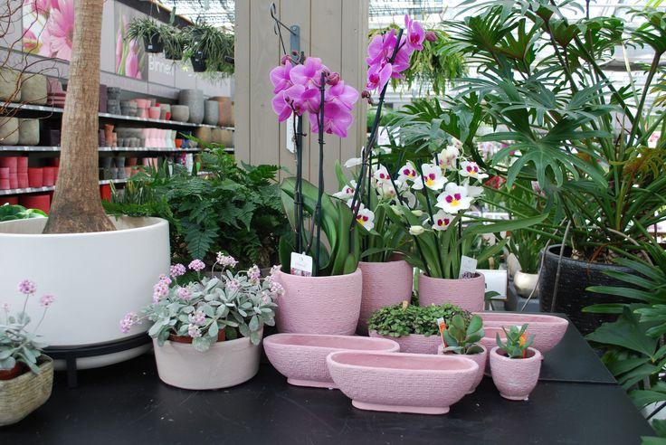 Ja, er bestaan geurende orchideeën! Zoals de Zygopetalum, met paarswitte bloemkelken en een friszoete geur. De Cambria 'Nelly Isler' heeft donkerrode bloemen met oranje, gele en soms zelfs roze accenten en een lichtzoete geur. De bamboe-orchidee Dendrobium 'Berry Oda' krijgt paarse bloemen aan vele takken, die licht geuren. De subtiel geurende viooltjesorchidee Miltonia 'Herr Alexandre' heeft zuiver witte bloemblaadjes met een geel hart en twee paarse 'ogen'.