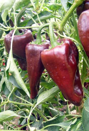 51 Best Images About Seeds New Mexico State University Varieties On Pinterest