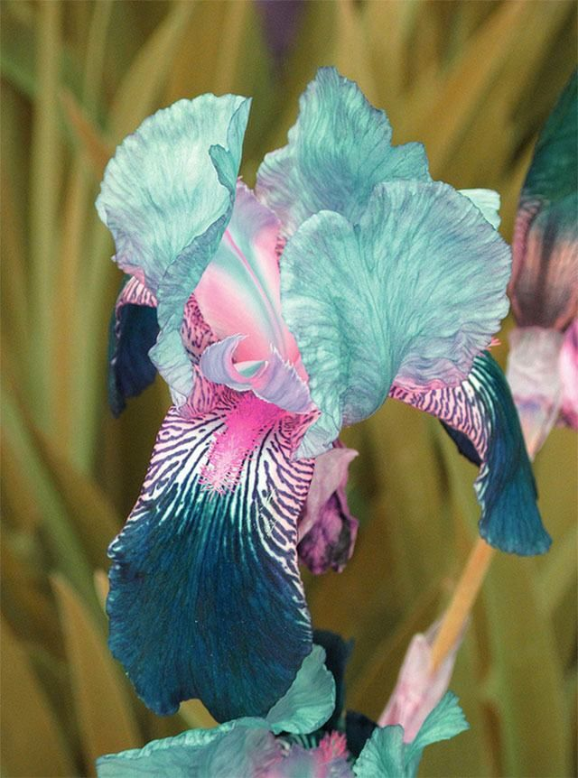 Íris (Iris germanica)