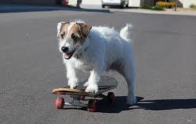Resultado de imagen para perro jack russell terrier bebe