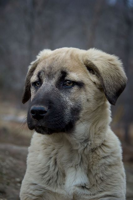 Boris - Anatolian Shepherd puppy | Flickr - Photo Sharing!