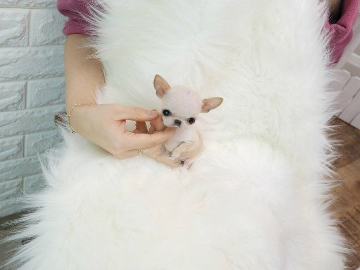 Name : Belle Solid Color : White Breed : Micro Chihuahua Gender : Female #Chihuahua