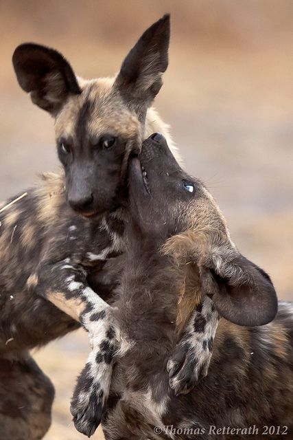 Wild Dogs rule by Wild Dogger on Flickr. - 2 African Wild Puppies playing wild. Kwando river, Northern Botswana