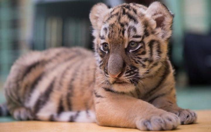 Tiger cub Stormi sits on the ground at the zoo in Magdeburg, Germany. The tiger baby was born on June 22, 2017 at the zoo.