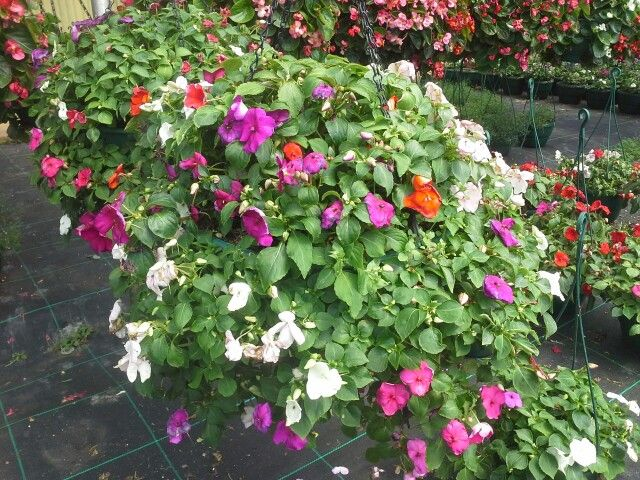 Impatient and begonia hanging baskets