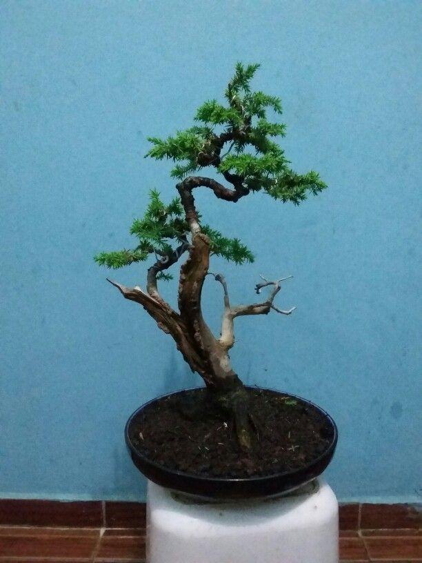 Juniperus rigida bonsai 1b
