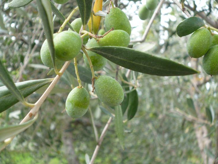 olive a Montespertoli