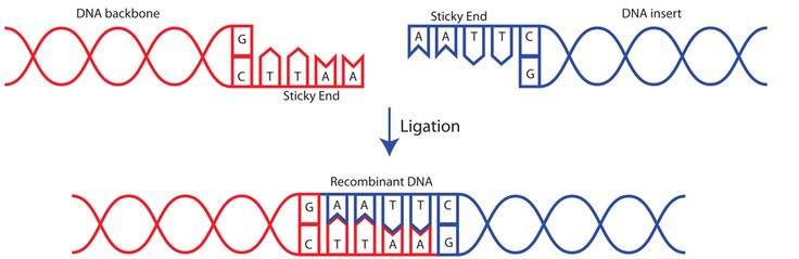 CLUE: Lesson 1.4 A fact about plasmids   LIGASE  DNA ligase attaches sticky ends from DNA backbone and DNA insert to form recombinant DNA.