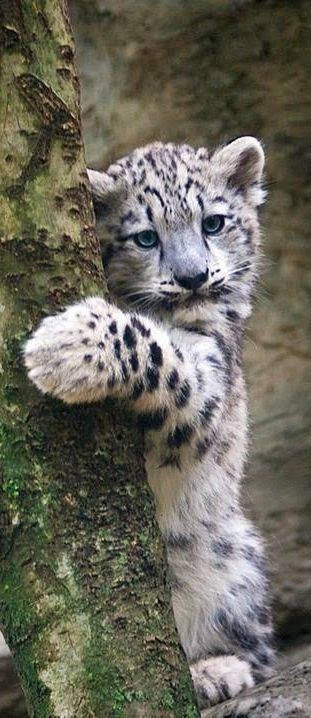 If I could own a big cat I would want a snow leopard!