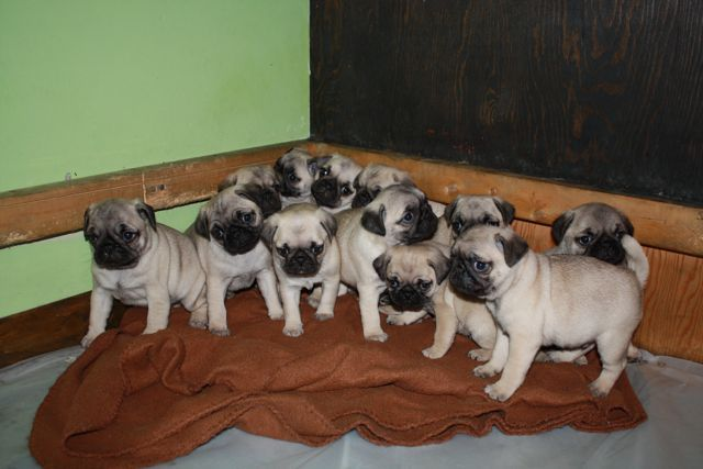 Two gorgeous PUG puppies for adoption, Male and Female - http://www.free-ads-online.co.uk/?ad=two-gorgeous-pug-puppies-for-adoption-male-and-female