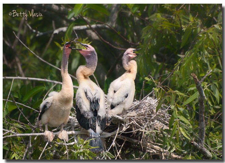 https://flic.kr/p/TJjom2 | Anhinga Chicks