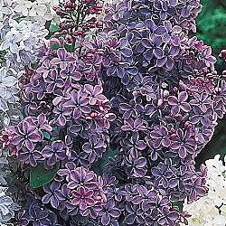 French Lilac Violet Lavender And Grey Pinterest