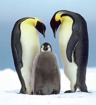 Penguins in Antarctica (ok the little one looks like he's wearing fur)