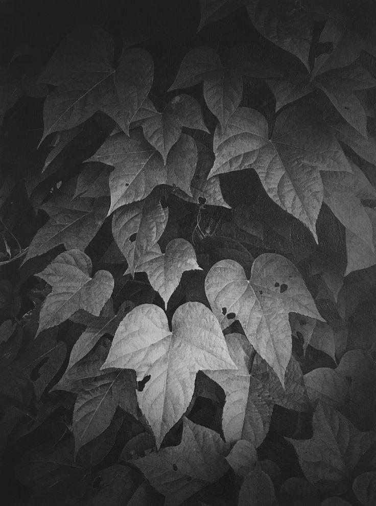 『朝顔の葉』  #鉛筆デッサン #朝顔の葉 #佐久間あすか #asukasakuma