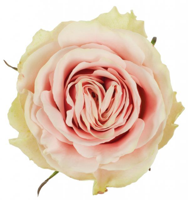 Rose Pink Frutteto 1 Wholesale Flowers Cream Roses Floral Supplies