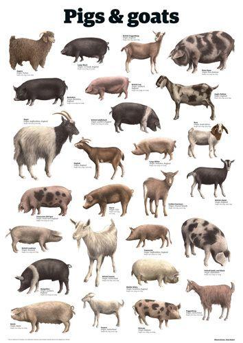 Pigs and goats Art Print by Guardian Wallchart Easyart.com